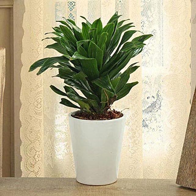 Dracaena Compacta plant in a vase