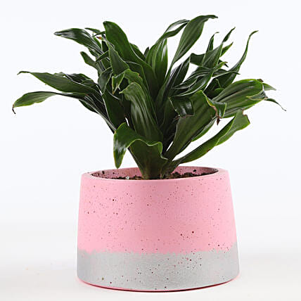 outdoor plant in pink plant:Send Shrubs