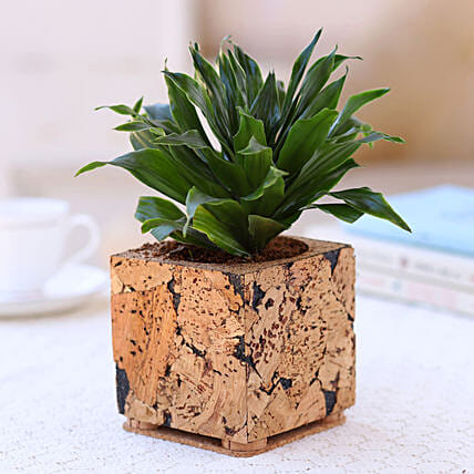 Dracaena Plant In Cork Planter Online