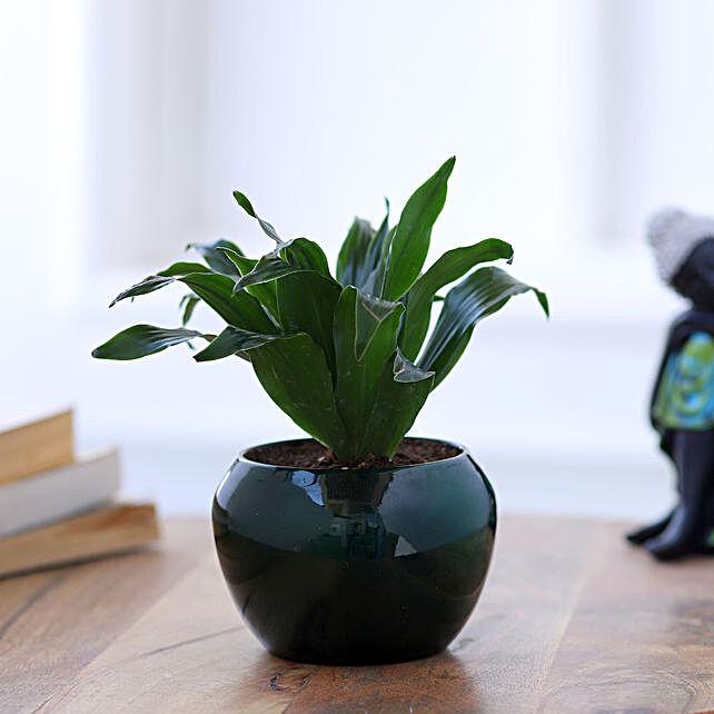 Online Dracaena Plant In Green Metal Pot