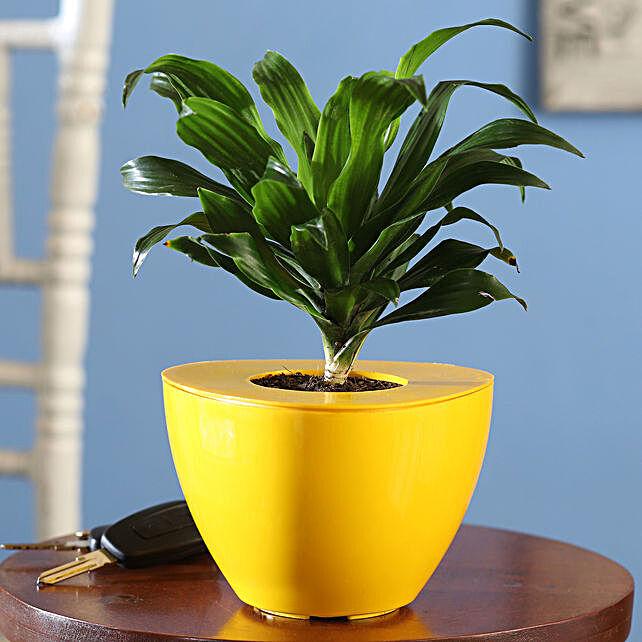 Dracaena Plant Online