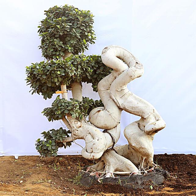 Outdoor Bonsai Tree Online