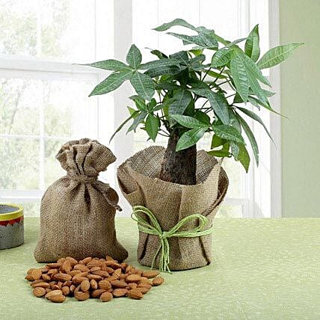 Combo of Dry Fruits & Bonsai Plant:Send Plants n Dry Fruits