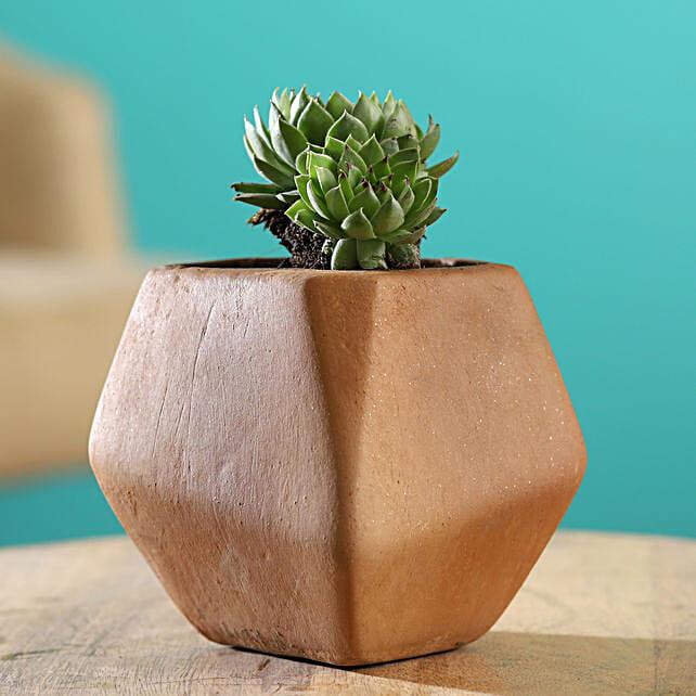 Echeveria Elegans Plant In Pentagon Shaped Terracotta Pot
