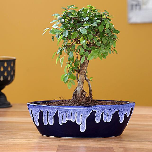 Elm Plant with Ceramic Planter:Bonsai Tree