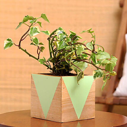 English Ivy Plant In Green Natural Wood Square Pot:Gifts for Dhanteras