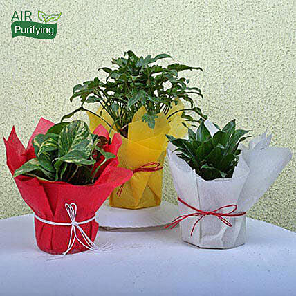 Money, xanadu philodendron and Dracaena plants in plastic pots