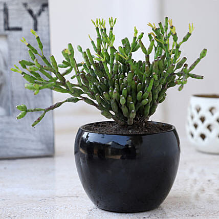 Online Euphorbia Sticks Plant In Pot