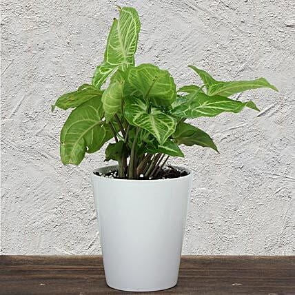 Green Syngonium plant in a vase