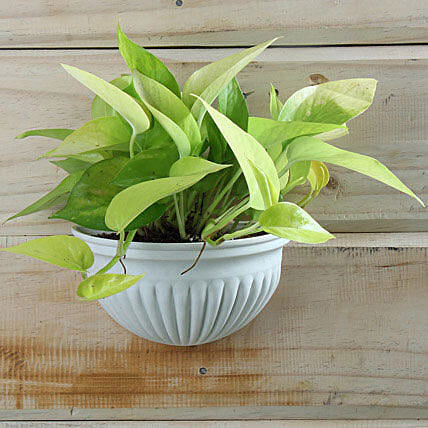 Money plant in ceramic pot
