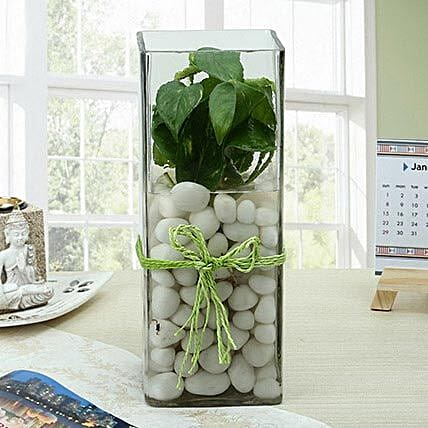 White money plant in a large round glass vase with white pebbles:Desktop Plant