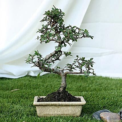 Ulmus s shape bonsai plant with ceramic vase
