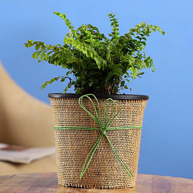 Fern Plant In Black Nursery Pot