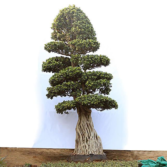 Air Root Bonsai Tree Online:Premium Plants