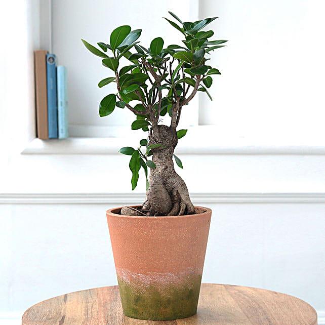 Online Ficus Bonsai In Conical Melamine Pot