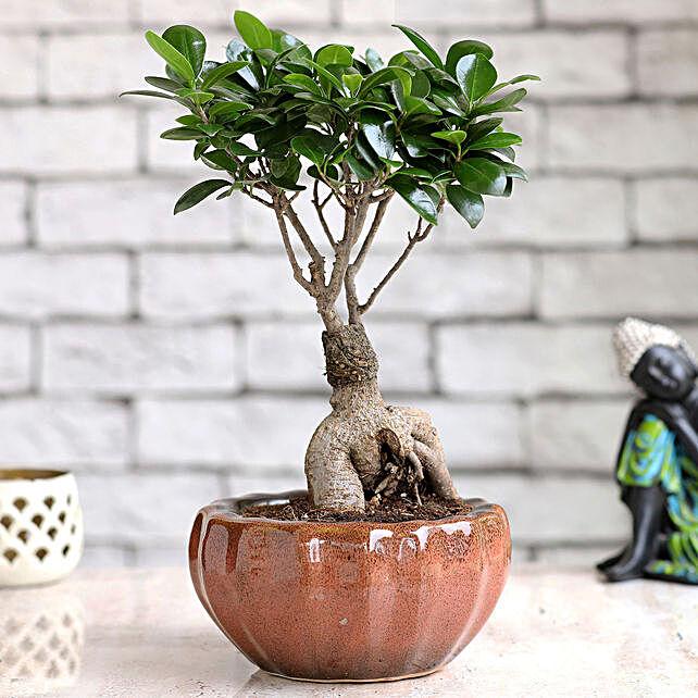 Ficus Bonsai Plant Online