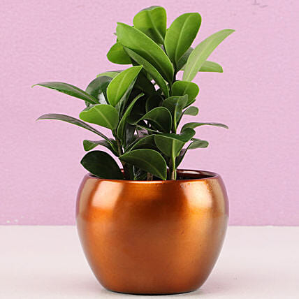 Ficus Compacta In Brass Pot Hand Delivery