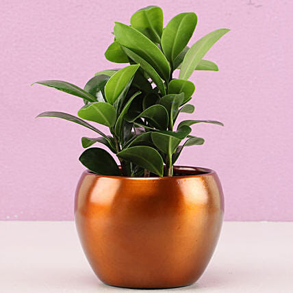 Ficus Plant for Home:Air Purifying Plants