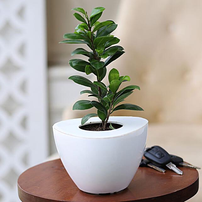 Online Ficus Compacta