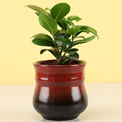 ficus compacta plant in red pot