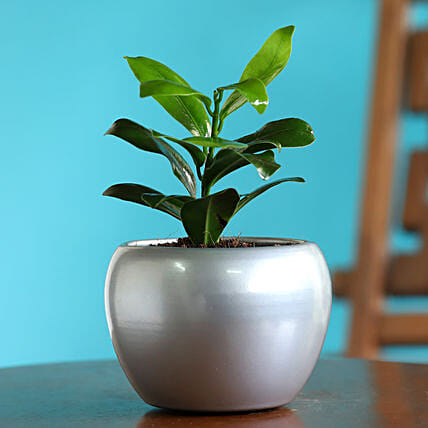 Ficus Compacta Plant In Silver Teak Table Top Pot