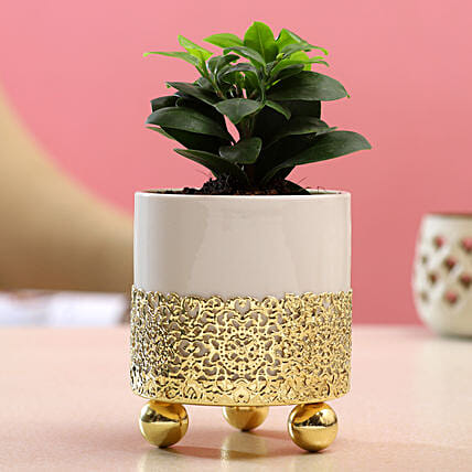Ficus Compacta Plant In White Pot With Golden Stand