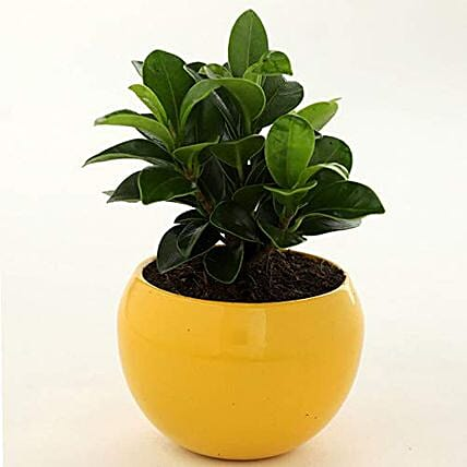 Online Ficus Compacta Plant In Yellow Metal Pot