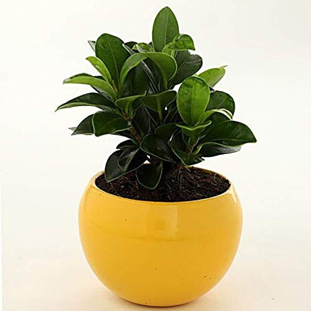 Online Ficus Compacta Plant In Yellow Metal Pot