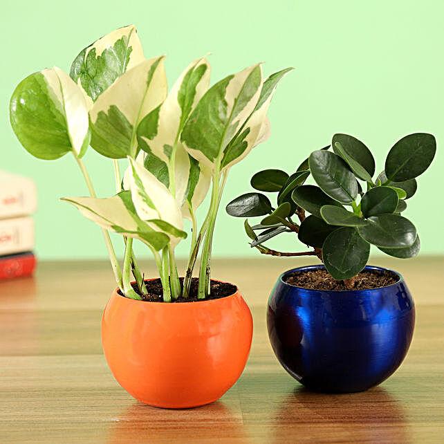Online Ficus Compacta & White Pothos Plant Combo