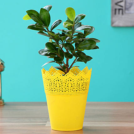 Ficus Compacta With Yellow Cosmos Plastic Pot