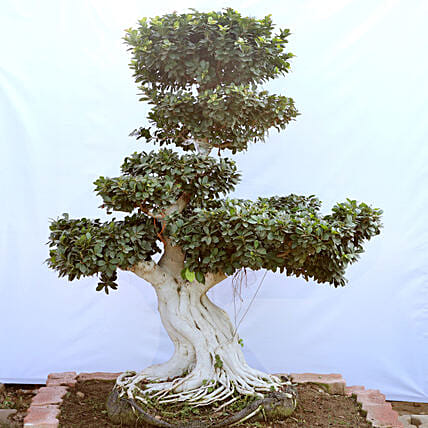 Bonsai Tree Online