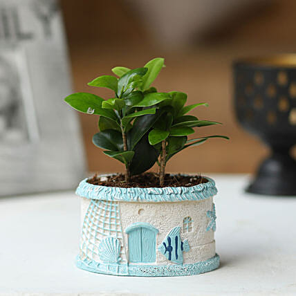 Ficus Plant in Blue Resin Pot