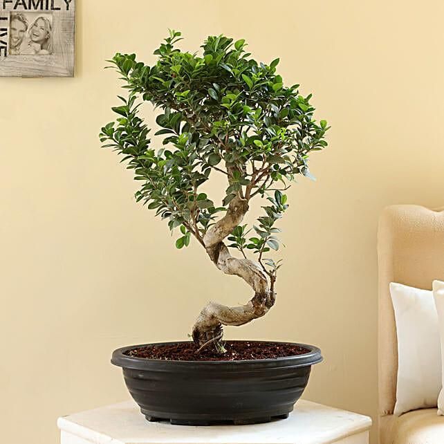 s shaped bonsai plant with ceramic pot online