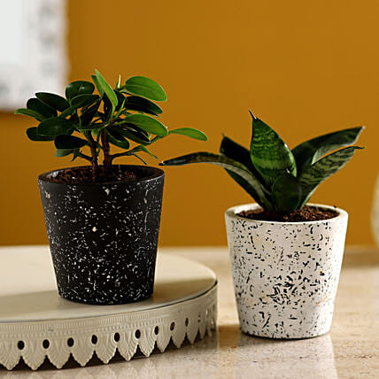 Ficus & Sansevieria Plant Set In Ceramic Pots