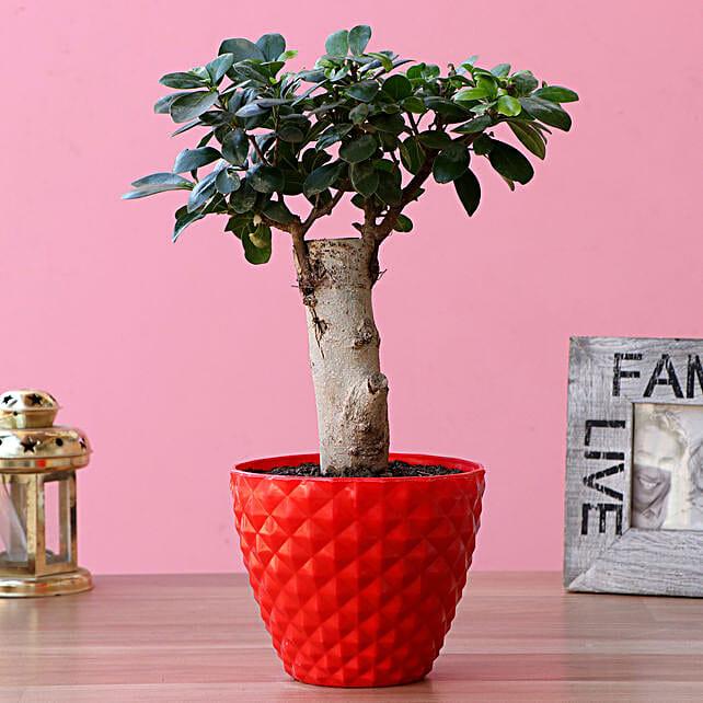 Ficus Trunk Bonsai Plant In Plastic Pot