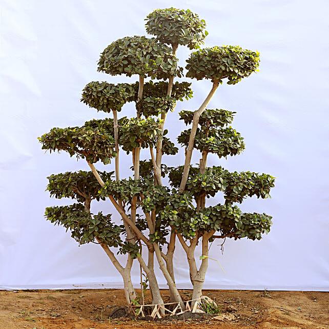 Mini Bonsai Tree Online