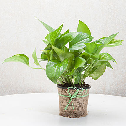 Money plant in a vase plants gifts:Plants Delivery