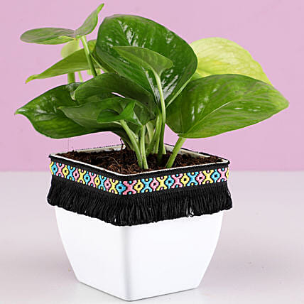 Quirky Plant For Him:Lucky Plants For Home