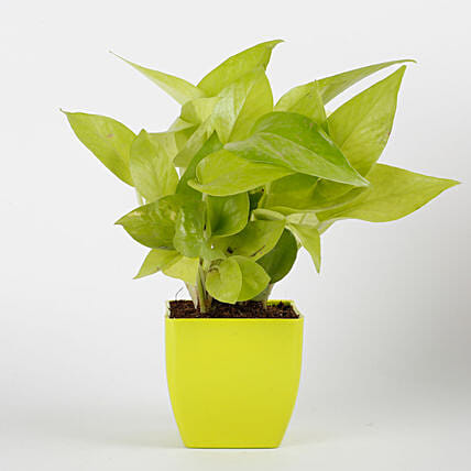 Golden Money Plant in Green Imported Plastic Pot