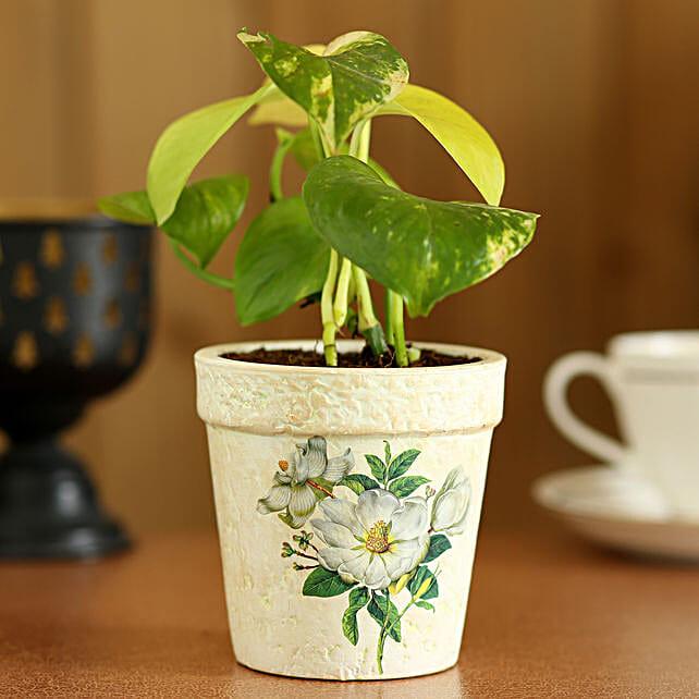 Golden Money Plant In Green Pot