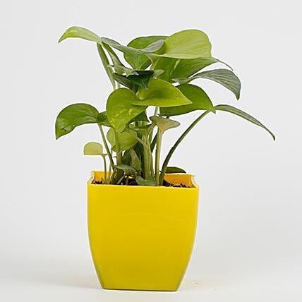 money plant in yellow vase:Send Plants to Nagpur