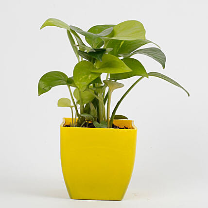 money plant in yellow vase