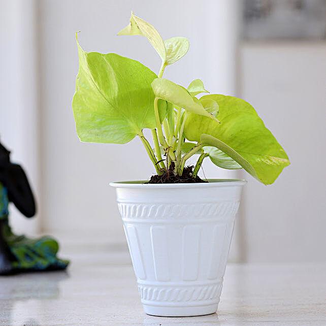 Golden Money Plant In Matte White Pot