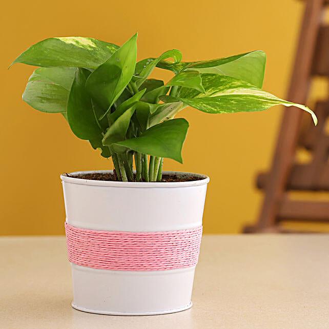 Golden Money Plant In Powder Coated Pink Pot:Metal Planters