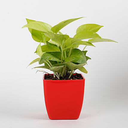 Golden Money Plant in Red Imported Plastic Pot