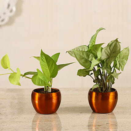 Golden Money Plant Potted Syngonium Combo Hand Delivery:Plants Sets