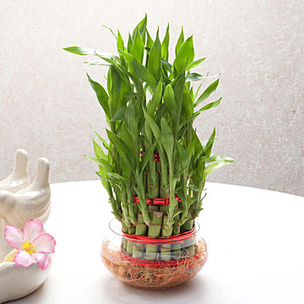 Three layer bamboo plant in a round glass vase plants gifts:Lucky Bamboo Plants