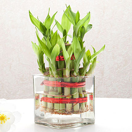 Two layer bamboo plant with a square glass vase plants gifts:Office Desk Plants