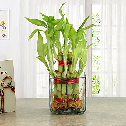 Two layer bamboo plant with a square glass vase plants gifts:Gifts For Boss Day
