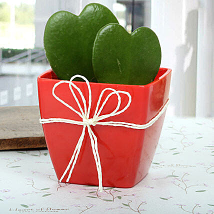 Love Plant aka Hoya plant arrangement in a red plastic vase wrapped with white raffia